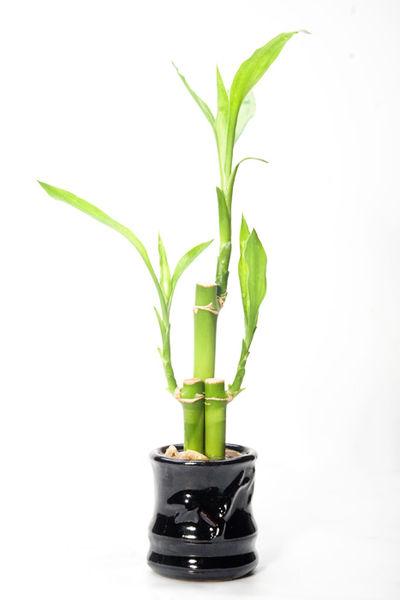 bambu da sorte Lucky bamboo - Bambu da Sorte para atrair prosperidade