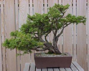 como-cuidar-de-um-bonsai