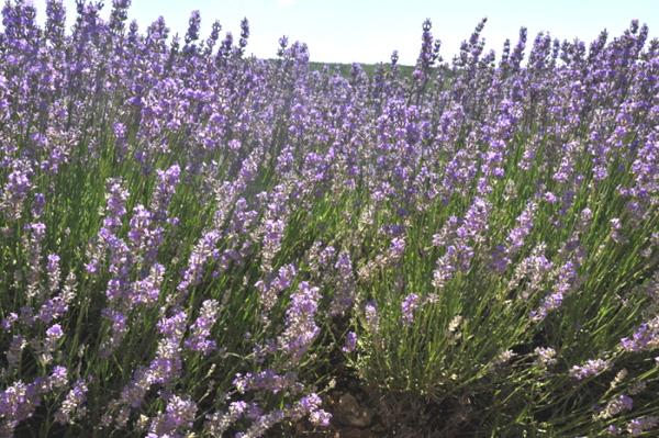 Lavanda conhe a as propriedades desta planta bigm e - Lavanda clima ...