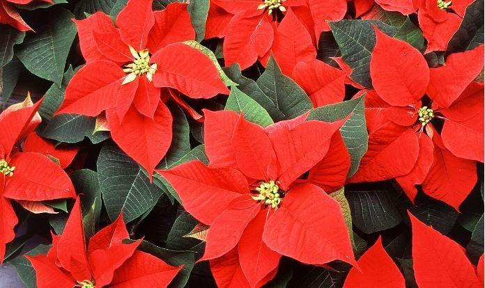 História da Flor do Natal – Poinsetti